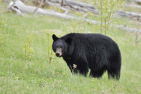 Amerikanischer Schwarzbär (Ursus americanus) / ch163241