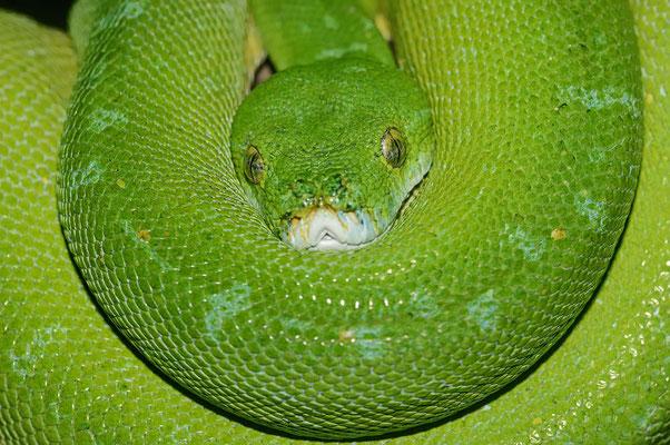 Grüner Baumpython (Chondropython viridis, Morelia viridis) / ch070185