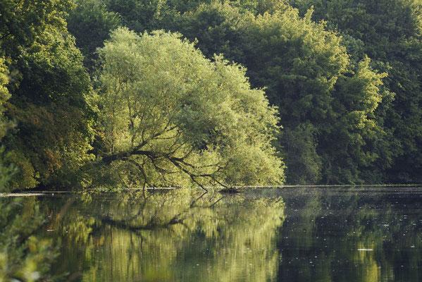 Silber-Weide (Salix alba) an der Lippe, Nordrhein-Westfalen  / ch191292
