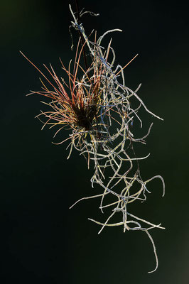 Bromelie (Tillandsia spec.) / ch023593