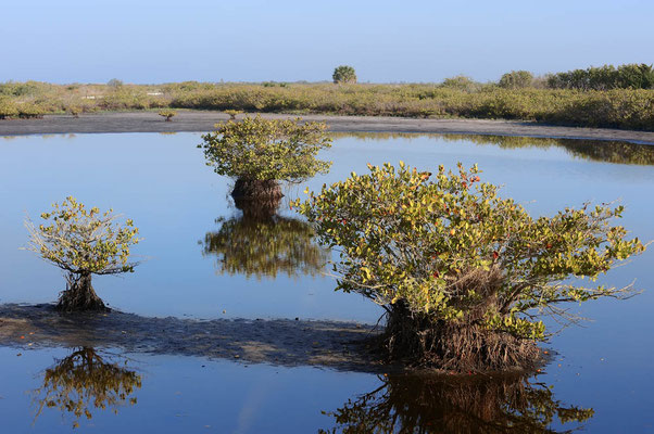 Rote Mangrove (Rhizophora mangle) / ch069828