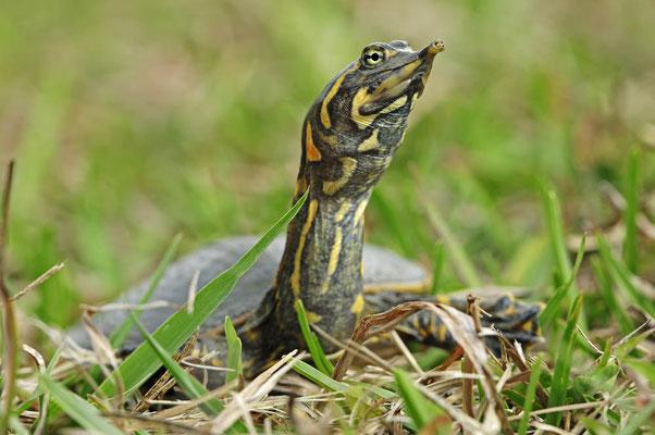 Florida-Weichschildkröte (Apalone ferox, Trionyx ferox) / ch024029