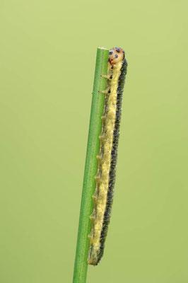 Blattwespe (Tenthredinidae sp.) / ch110929