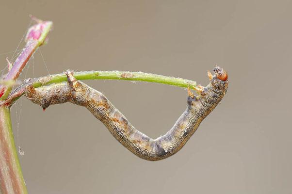 Federfühler-Herbstspanner (Colotois pennaria) / ch093286