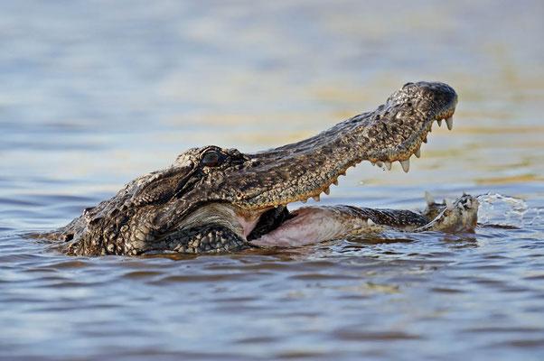 Mississippi-Alligator (Alligator mississippiensis) / ch063719