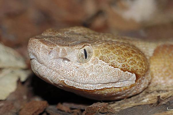 Nordamerikanischer Kupferkopf (Agkistrodon contortrix) / ch015358