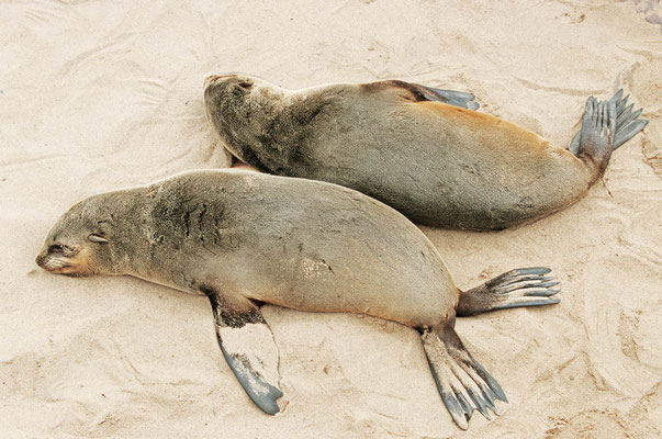 Südafrikanischer Seebär (Arctocephalus pusillus pusillus) / chs05189