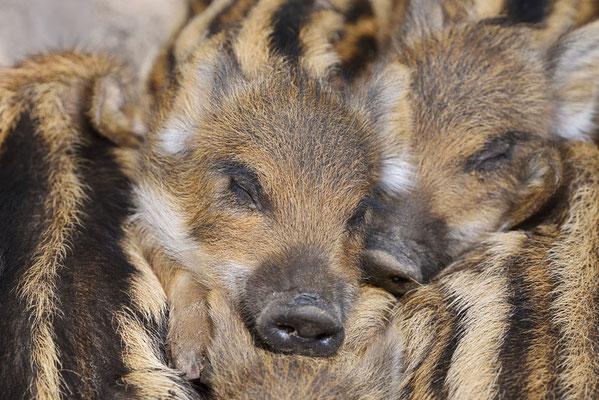 Europäisches Wildschwein (Sus scrofa scrofa) / ch182049