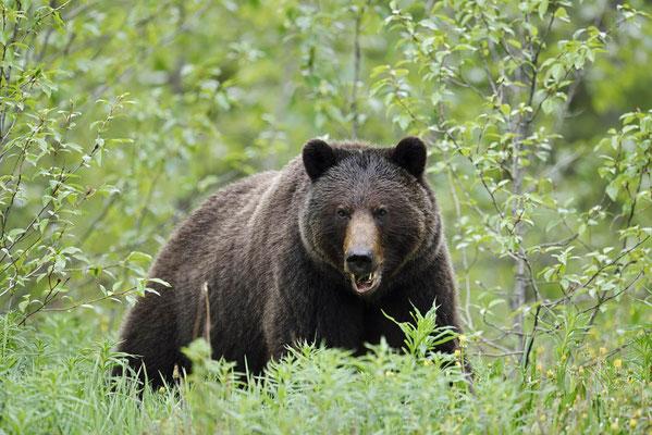 Grizzly-Bär (Ursus arctos horribilis) / ch163380