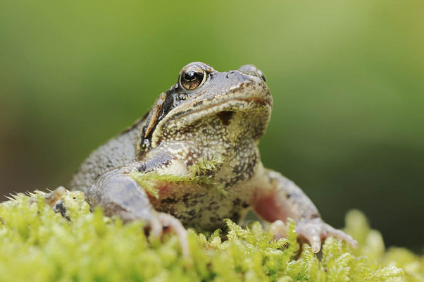 Grasfrosch (Rana temporaria) / ch098641