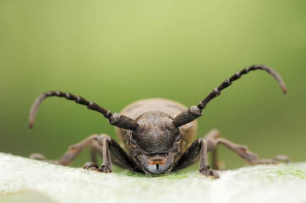 Bockkäfer (Herophila tristis, Dorcatypus tristis) / ch053828
