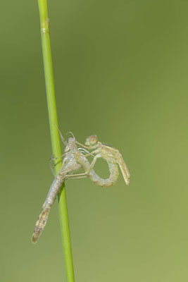 Gemeine Weidenjungfer (Lestes viridis, Chalcolestes viridis) / ch138193