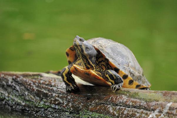 Gelbwangen-Schmuckschildkröte (Trachemys scripta scripta) / ch044759