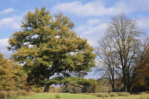 Stiel-Eiche (Quercus robur, Quercus pedunculata) im Herbst, Nordrhein-Westfalen / ch196918