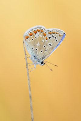 Hauhechel-Bläuling (Polyommatus icarus) / ch181704