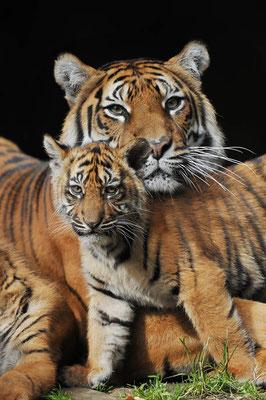 Sumatra-Tiger (Panthera tigris sumatrae) / ch071831