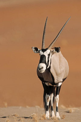 Spießbock (Oryx gazella) / chs05133