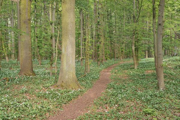 Bärlauch (Allium ursinum) im Laubwald, Nordrhein-Westfalen / ch188049