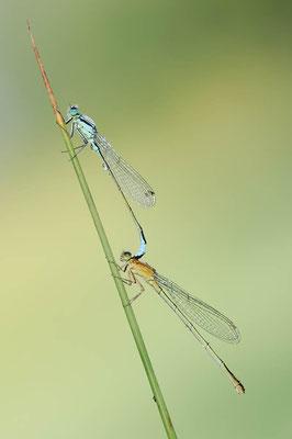 Große Pechlibelle (Ischnura elegans) / ch126989