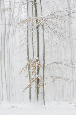 Rotbuchen (Fagus sylvatica) im Winter, Nordrhein-Westfalen / ch103806