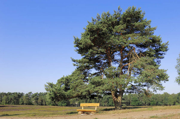 Gemeine Kiefer (Pinus sylvestris) in Heidelandschaft / ch027632
