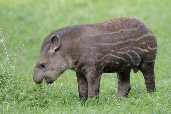 Flachlandtapir (Tapirus terrestris) / ch005839