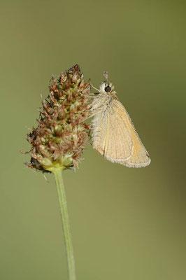 Braunkolbiger Dickkopffalter (Thymelicus sylvestris) / ch173923