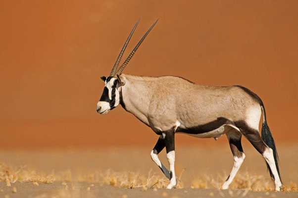 Spießbock (Oryx gazella) / chs05130
