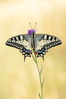 Schwalbenschwanz (Papilio machaon) / ch191070