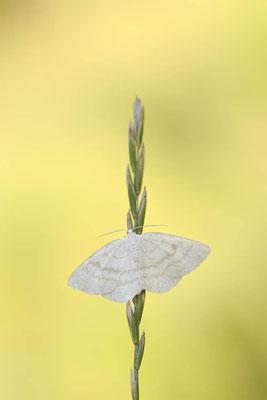 Weißstirn-Weißspanner (Cabera pusaria) / ch150710