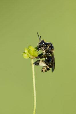 Sumpf-Schenkelbiene (Macropis europaea) / ch138009