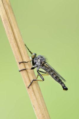 Garten-Raubfliege (Neomochtherus geniculatus) / ch144481