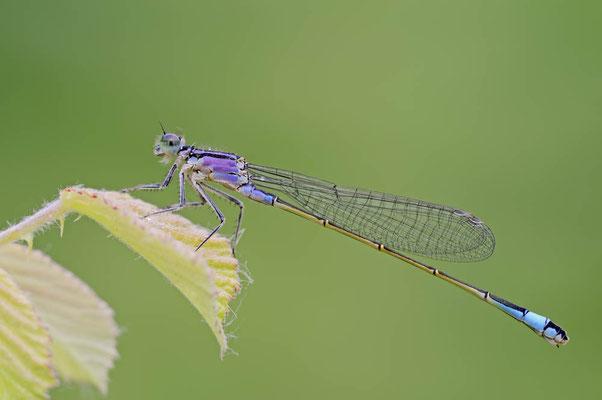 Große Pechlibelle (Ischnura elegans) / ch074989