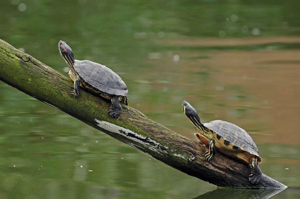 Rotwangen-Schmuckschildkröte (Trachemys scripta elegans) + Gelbwangen-Schmuckschildkröte (Trachemys scripta scripta) / ch044838