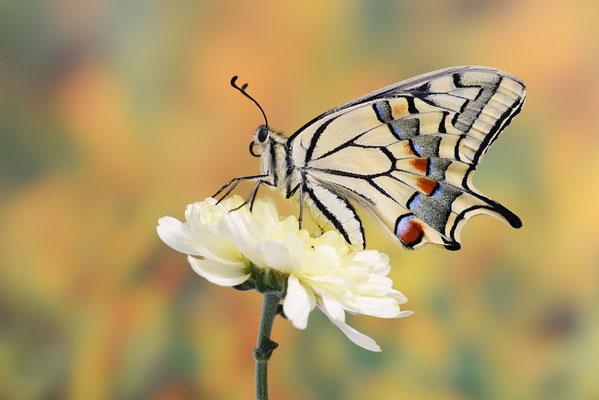 Schwalbenschwanz (Papilio machaon) / ch191005