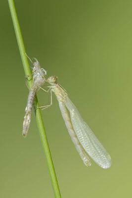 Gemeine Weidenjungfer (Lestes viridis, Chalcolestes viridis) / ch138238
