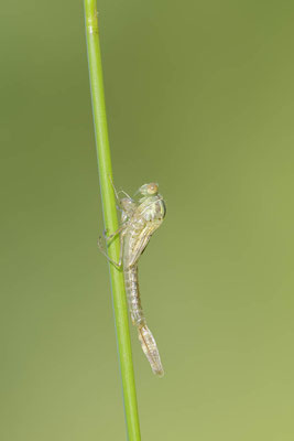 Gemeine Weidenjungfer (Lestes viridis, Chalcolestes viridis) / ch138133