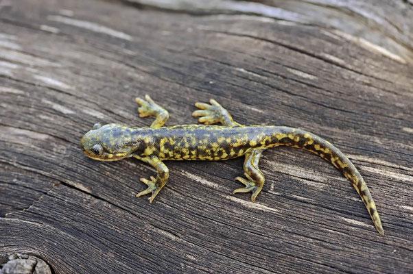 Östlicher Tigersalamander (Ambystoma tigrinum) / ch057346