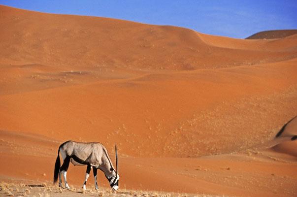 Spießbock (Oryx gazella) / chs05116