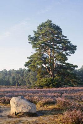 Gemeine Kiefer (Pinus sylvestris) in blühender Heidelandschaft / ch196668