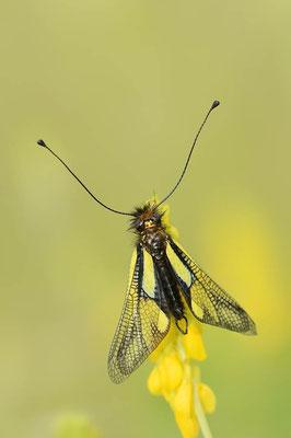 Libellen-Schmetterlingshaft (Libelloides coccajus) / ch091242