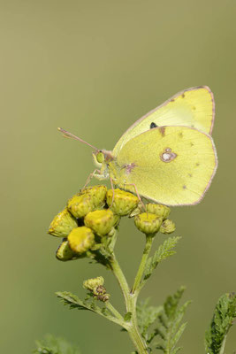 Goldene Acht (Colias hyale) / ch130716
