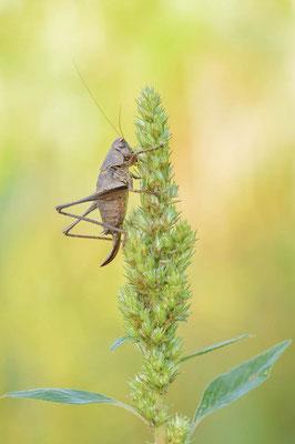 Gemeine Strauchschrecke (Pholidoptera griseoaptera) / ch196708