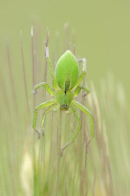 Grüne Huschspinne (Micrommata virescens) / ch109117