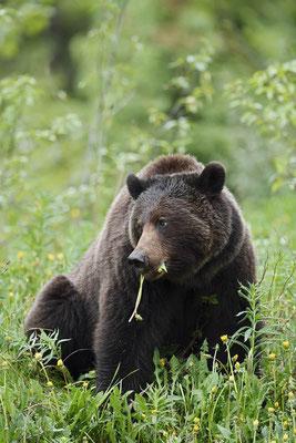 Grizzly-Bär (Ursus arctos horribilis) / ch163413