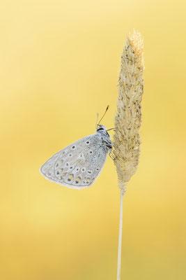 Hauhechel-Bläuling (Polyommatus icarus) / ch181689