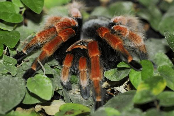 Mexikanische Rotbeinvogelspinne (Brachypelma boehmei) / ch121388