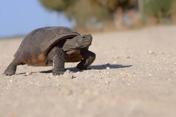 Gopherschildkröte (Gopherus polyphemus) / ch063949