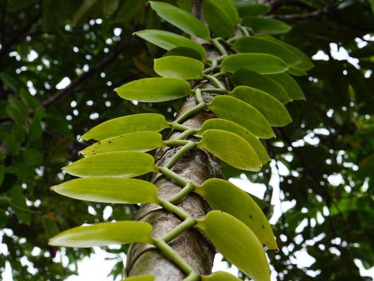 Die Vanillepflanzen ranken sich empor und werden immer wieder umgebunden, um die Ernte zu erleichtern