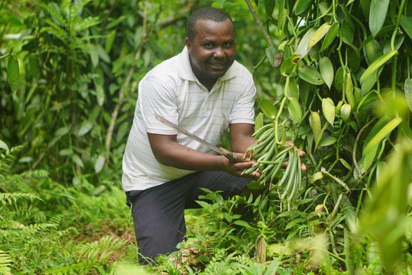 Vanille-Ernte auf Madagscar